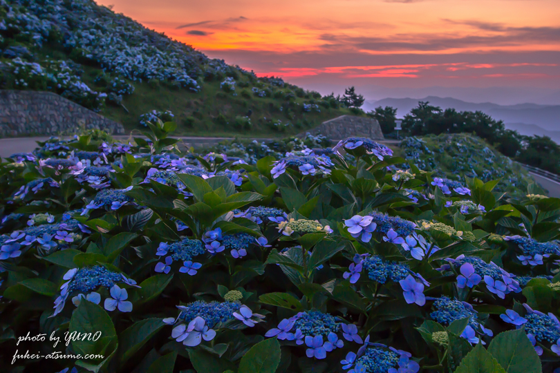 徳島・大川原高原の夕焼けと紫陽花5