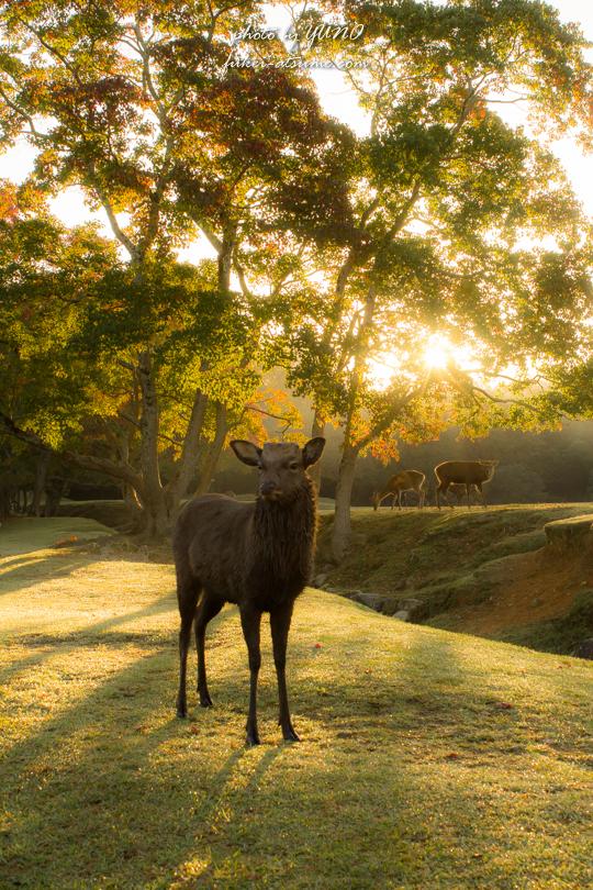 奈良公園・紅葉・鹿4