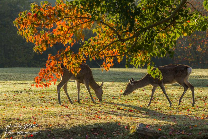奈良公園・紅葉・鹿2