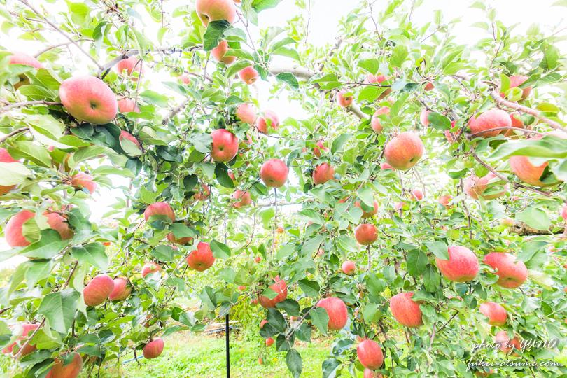 長野県・りんご畑・撮影3