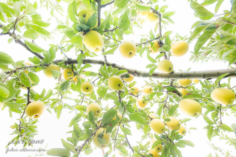 長野県・りんご畑・撮影1