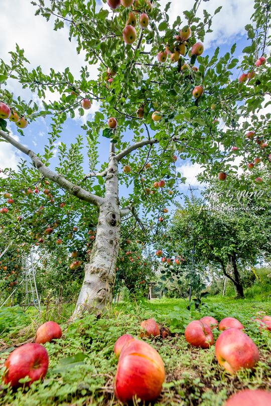 長野県・りんご畑・撮影2
