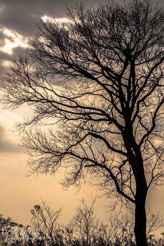 冬枯れ・夕景・琵琶湖・枯れ木