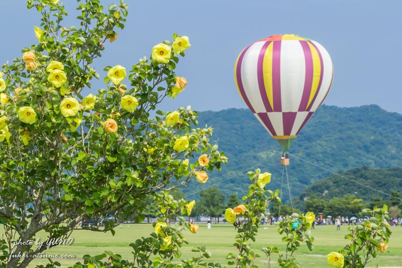 徳島・ハマボウの花・鳴門ウチノ海総合公園・熱気球