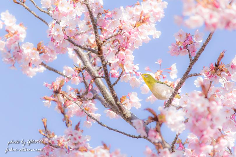 蜂須賀桜・メジロ・春・風景写真