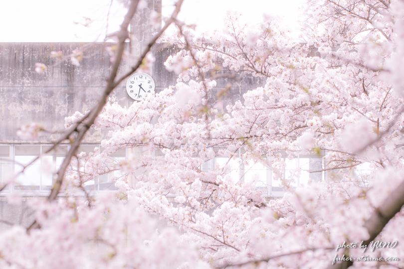 桜の時・校舎・奈良・佐保川・ふんわり