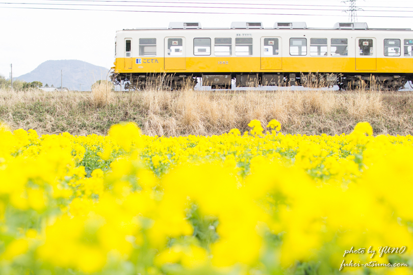【香川】ことでん菜の花畑・琴電琴平線・春旅