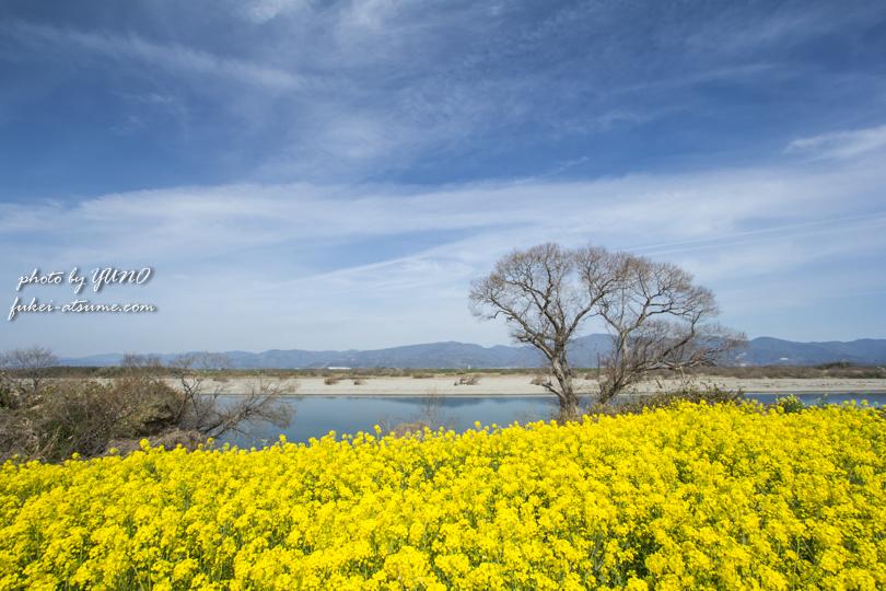 徳島県・吉野川・菜の花撮影