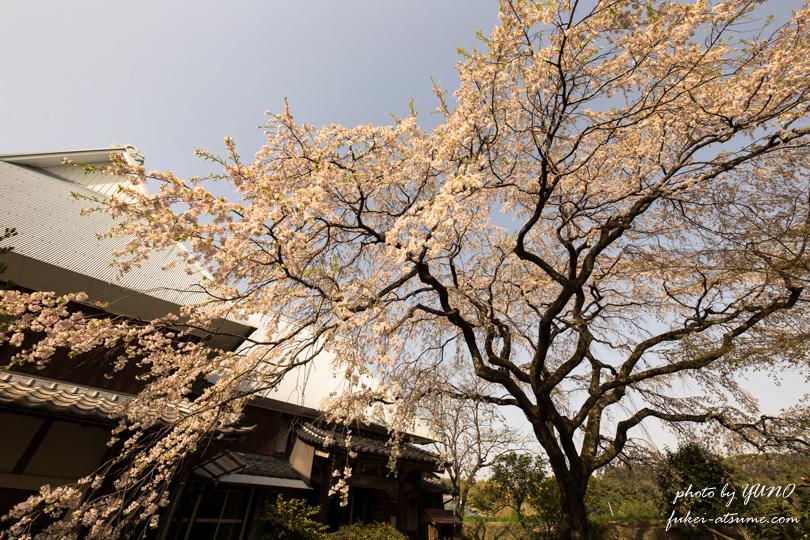 佐賀県神埼市・宝珠寺のヒメシダレザクラ撮影1