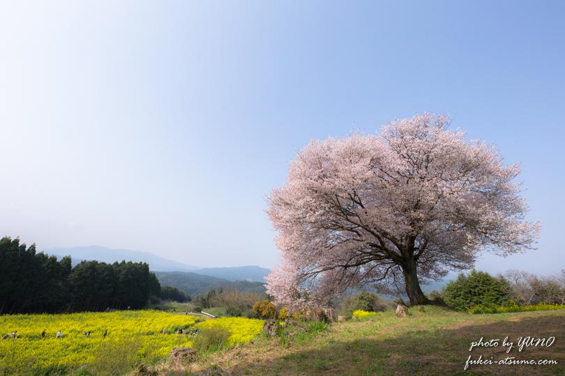 佐賀県武雄市・馬場の山桜・菜の花畑・一本桜撮影2