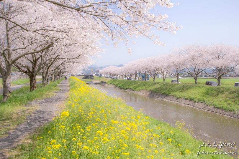 福岡県朝倉郡筑前町・草場川の桜並木撮影3
