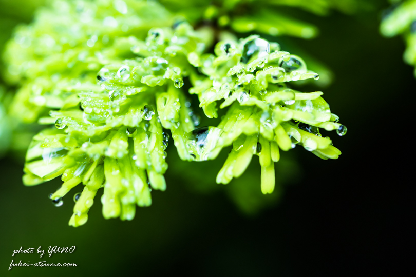 雨上がりの宝石・雨の雫・苔・コケ2