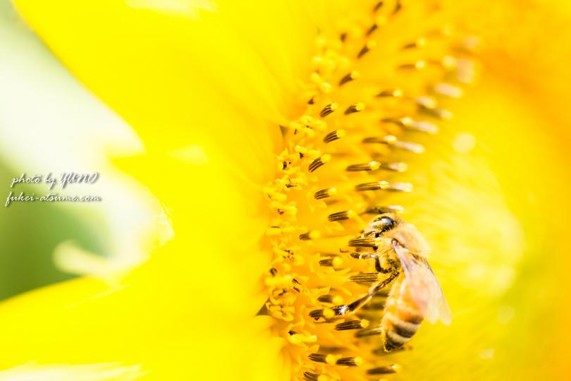 徳島阿波市市場町大影・ひまわり畑・向日葵・夏・ヒマワリとミツバチ5