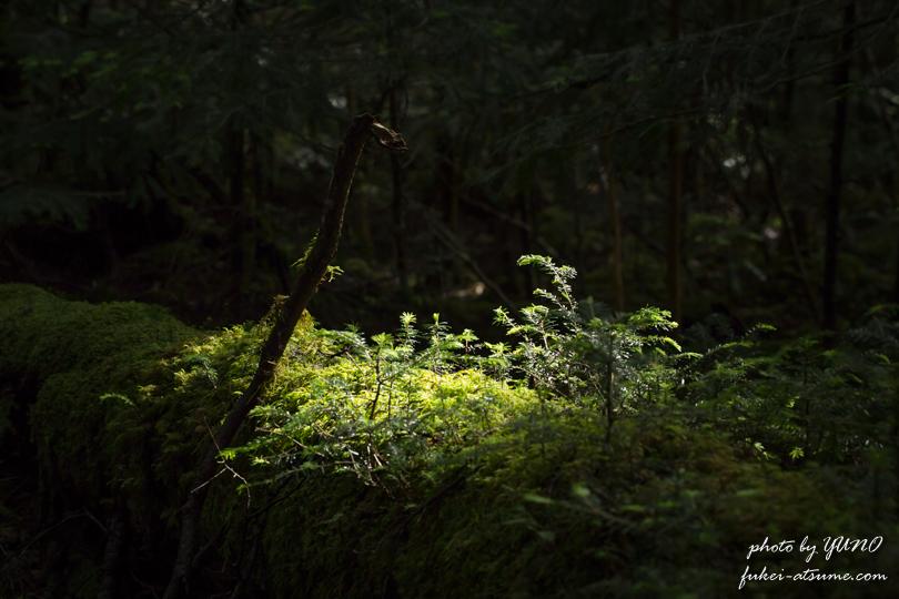 長野・白駒池・苔の森・木漏れ日・スポットライト