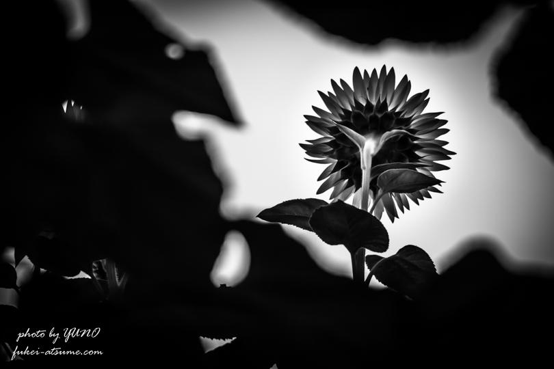 向日葵・後ろ姿・傍観者・静観・あなただけを見つめる・花言葉・モノクロ撮影