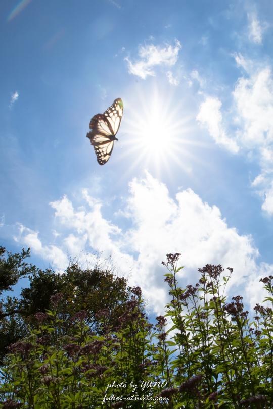 アサギマダラ・フジバカマ・太陽・青空・飛翔・蝶・バタフライ・遥かなる旅路の途中で3