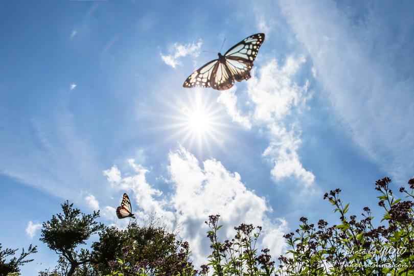 アサギマダラ・フジバカマ・太陽・青空・飛翔・蝶・バタフライ・遥かなる旅路の途中で2