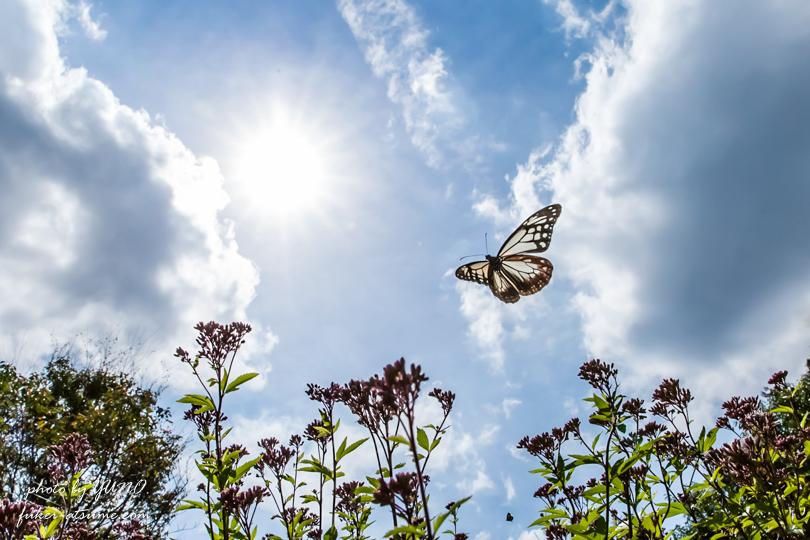 アサギマダラ・フジバカマ・太陽・青空・飛翔・蝶・バタフライ・遥かなる旅路の途中で1