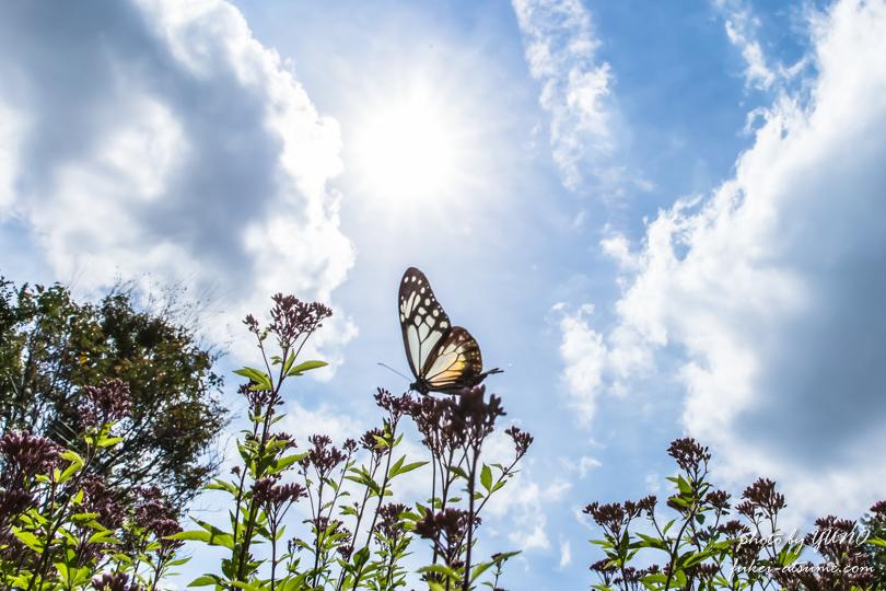 アサギマダラ・フジバカマ・太陽・青空・飛翔・蝶・バタフライ・遥かなる旅路の途中で4