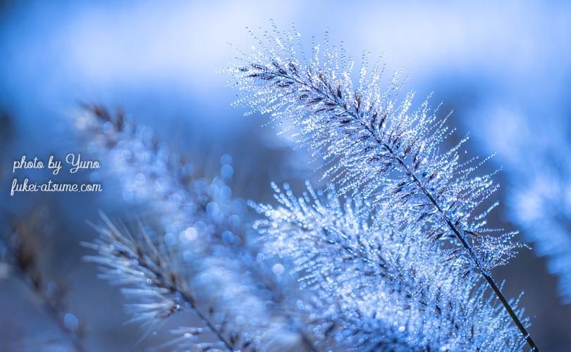 チカラシバ・朝露・イルミネーション・早朝・冷え込み・美しい雑草