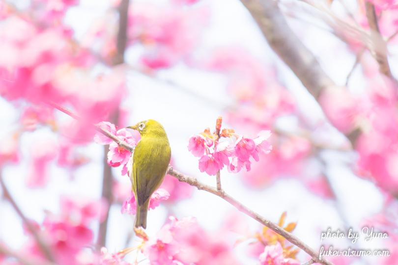 寒緋桜・メジロ・春景・春の予感・春めく