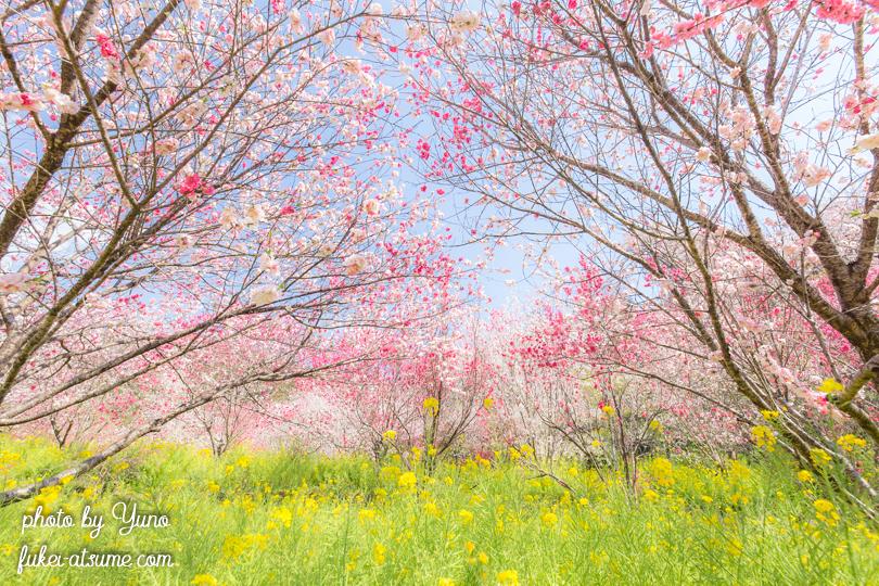 高知県香南市香我美町中西川・西川花公園・桜・花桃・菜の花・春色・見頃4