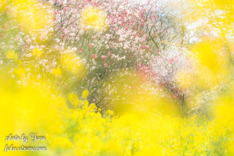 高知県香南市香我美町中西川・西川花公園・桜・花桃・菜の花・春色・見頃3