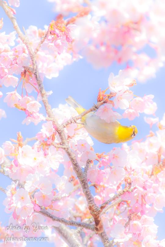 蜂須賀桜・メジロ・サクジロー・春・嬉々として・桜