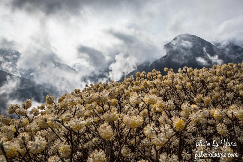 徳島・ミツマタ・霧・春・深山幽谷・絶景・雨上がり3