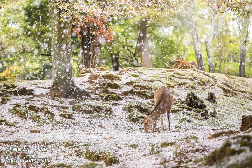 奈良公園・桜吹雪・鹿・桜の絨毯2