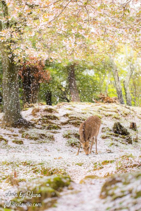 奈良公園・桜吹雪・鹿・桜の絨毯1