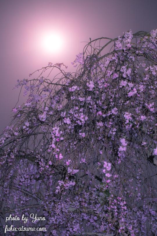 2019年4月19日・平成最後の満月・ピンクムーン・pinkmoon・満月・桜・しだれ桜2