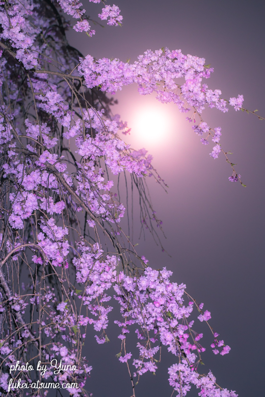 2019年4月19日・平成最後の満月・ピンクムーン・pinkmoon・満月・桜・しだれ桜3