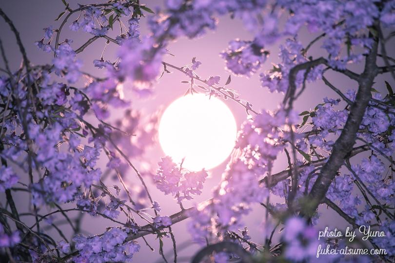 2019年4月19日・平成最後の満月・ピンクムーン・pinkmoon・満月・桜・しだれ桜1