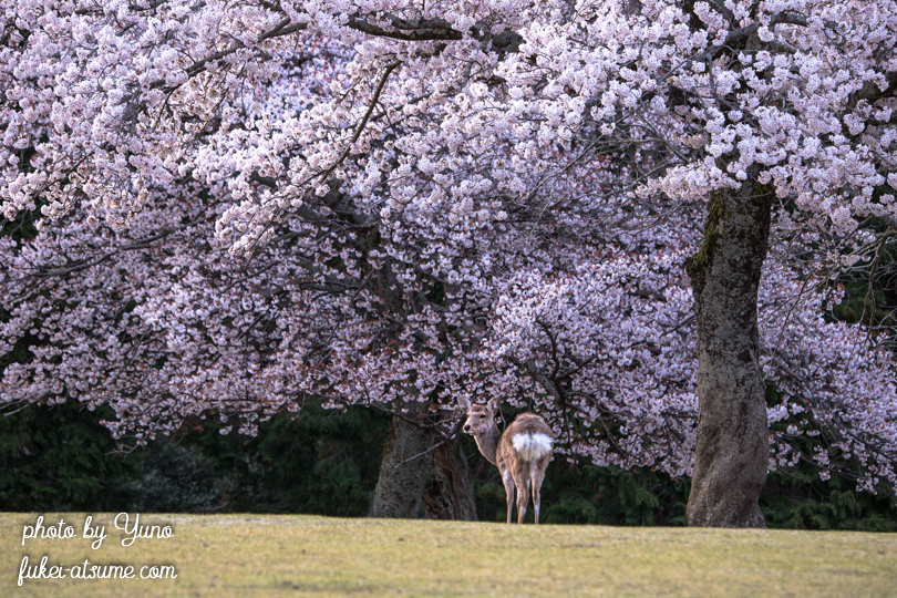 奈良公園・鹿・桜・満開・古都・桜色