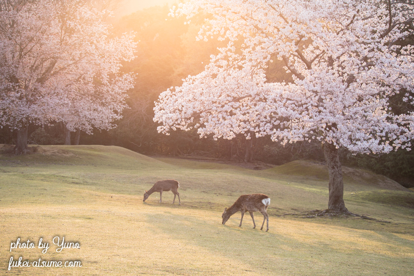 奈良公園・鹿・桜・早朝・朝日1