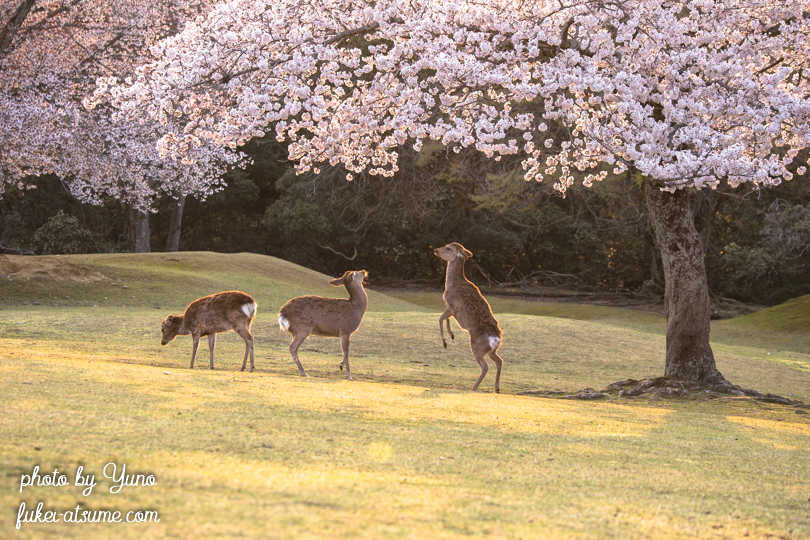 奈良公園・鹿・桜・早朝・朝日2