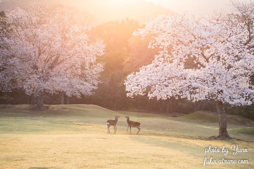 奈良公園・鹿・桜・早朝・朝日3