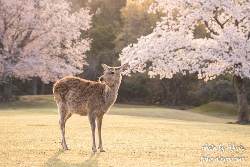 奈良公園・鹿・桜・早朝・朝日5