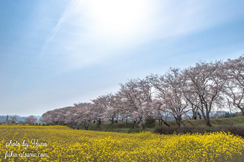 奈良・藤原宮跡・菜の花・桜満開・お花見日和・春爛漫1