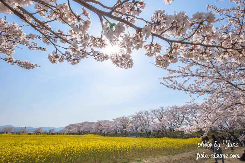 奈良・藤原宮跡・菜の花・桜満開・お花見日和・春爛漫2