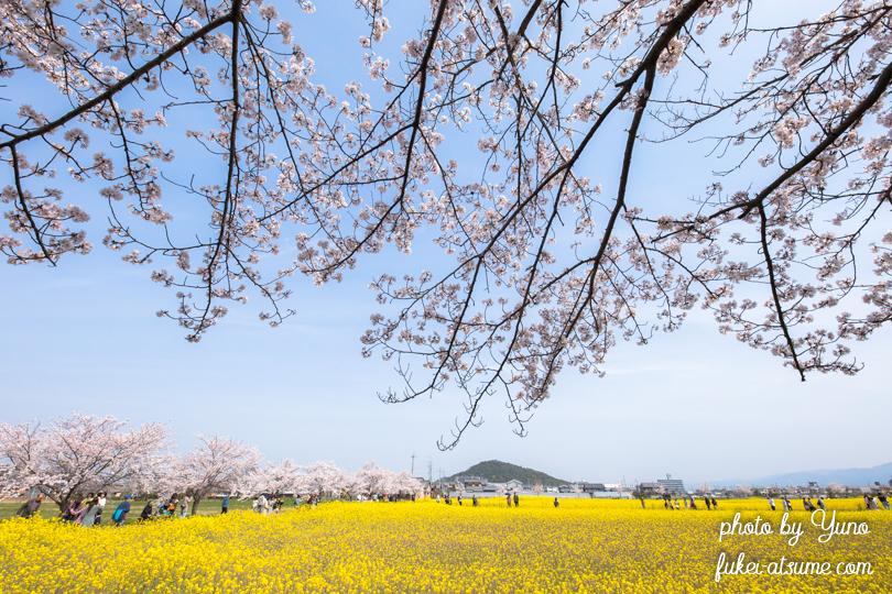 奈良・藤原宮跡・菜の花・桜満開・お花見日和・春爛漫3