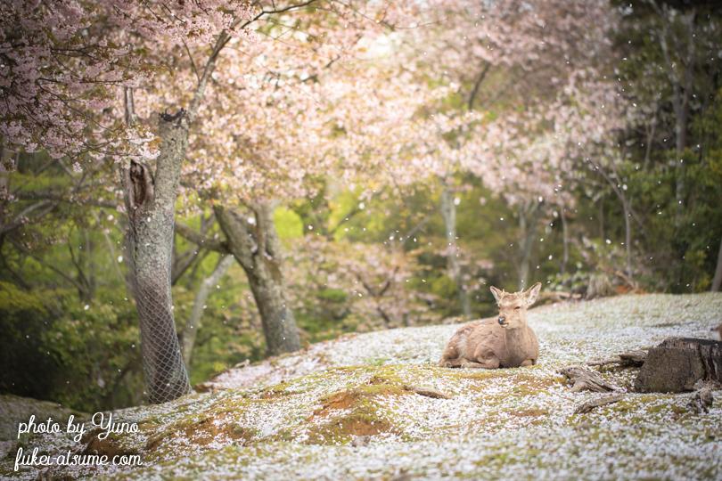 奈良公園・桜吹雪・鹿・桜の絨毯4