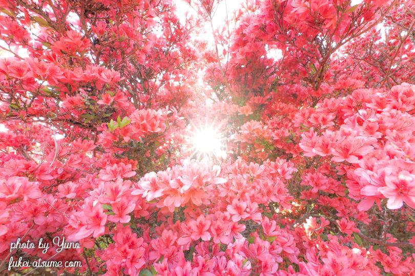 ツツジ・ヤマツツジ・花言葉・燃える思い・燃える想い・太陽・サンシャイン・広角レンズ