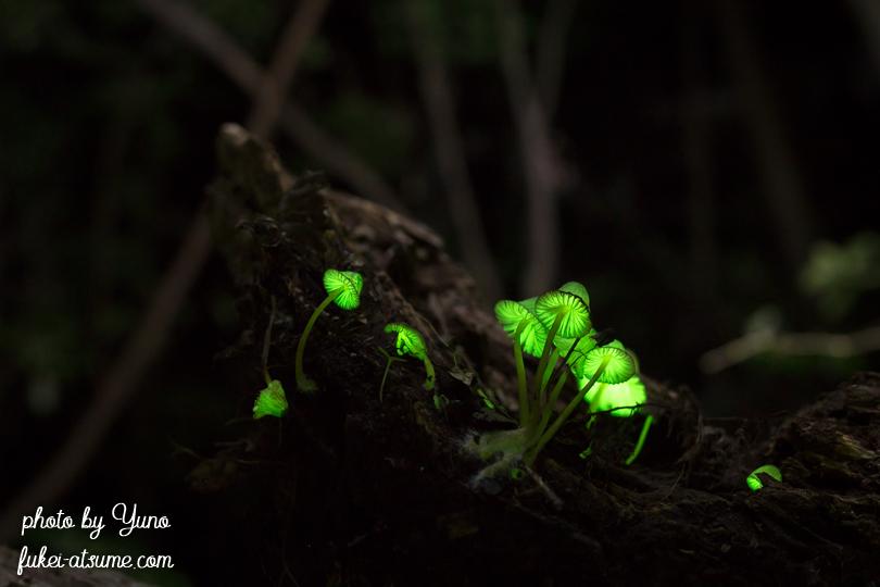 光るキノコ・シイノトモシビタケ・淡い光・緑の光1