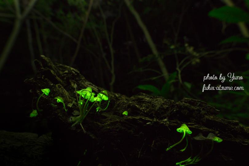 光るキノコ・シイノトモシビタケ・淡い光・緑の光2