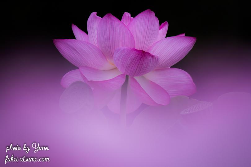 ハス・蓮の花