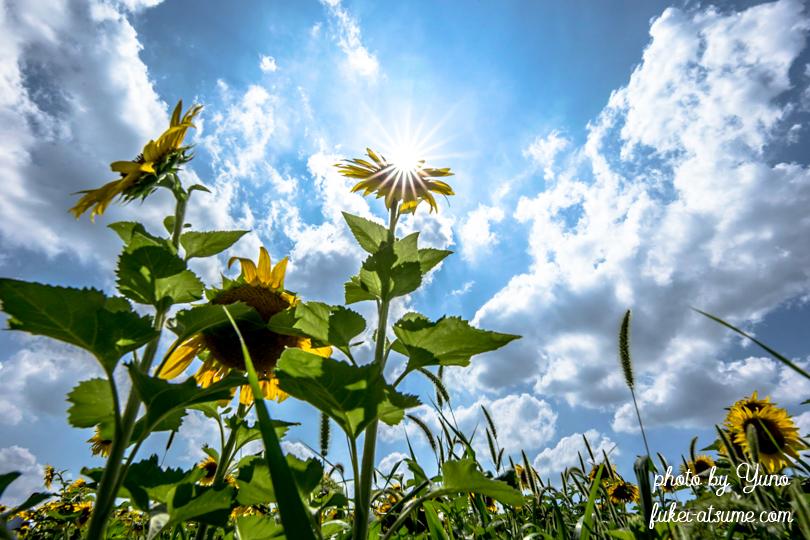 ひまわり・向日葵・sunflower・夏空
