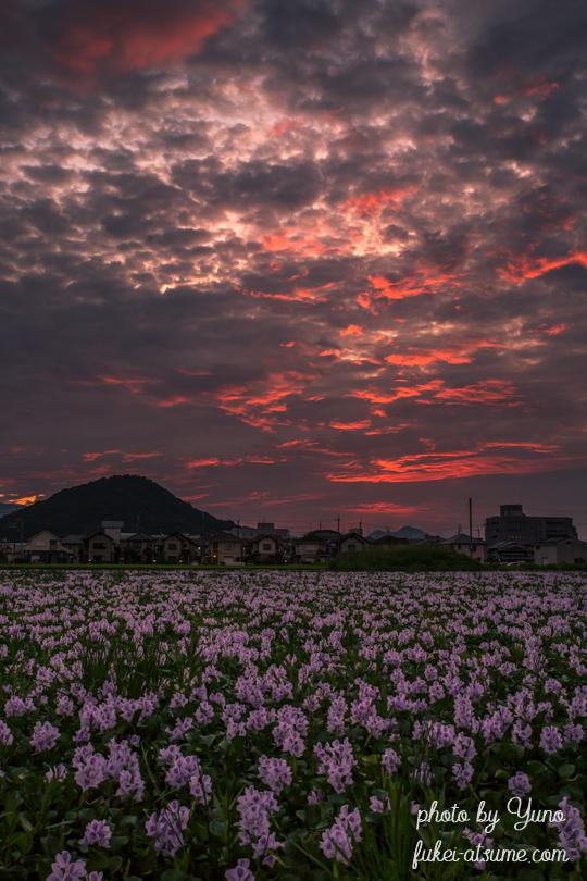 奈良・本薬師寺跡・ホテイアオイ・満開・夕焼け1