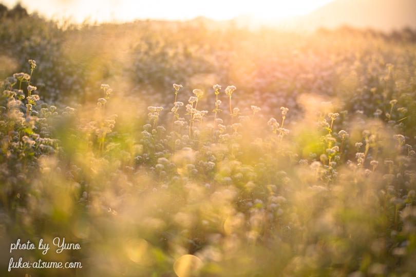 蕎麦畑・朝日・朝陽・朝の光・初秋・日の出1